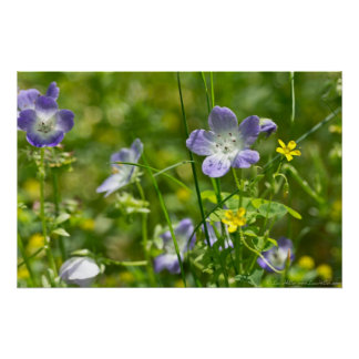 Baby Blue Eyes and Yellow Oxalis Wildflower Poster