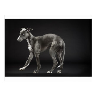 baby blue whippet postcard