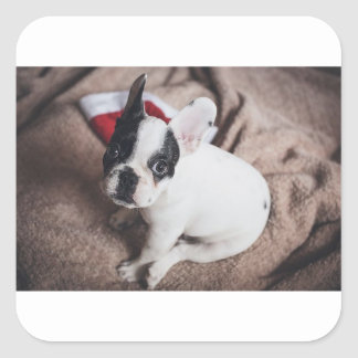 Baby Boston Bull Christmas Wrappings Square Sticker