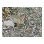 Baby Bunny And Grass Blade Post Card