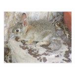 Baby Bunny At Corner Post Card
