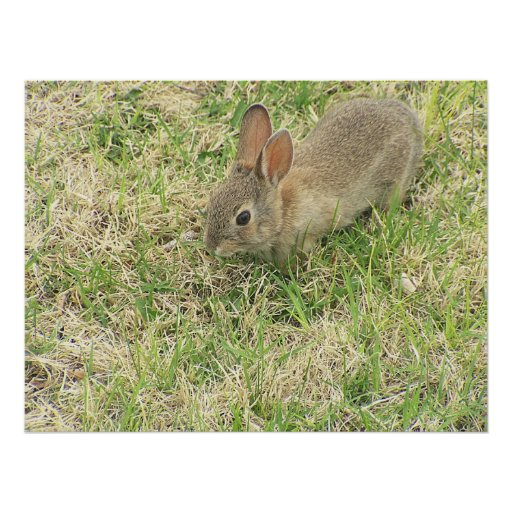 Baby Bunny In The Yard Poster