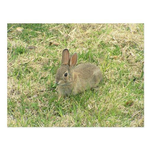 Baby Bunny Munching Postcard