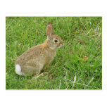 Baby Bunny On Lawn Post Cards