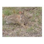 Baby Bunny Posing Postcards