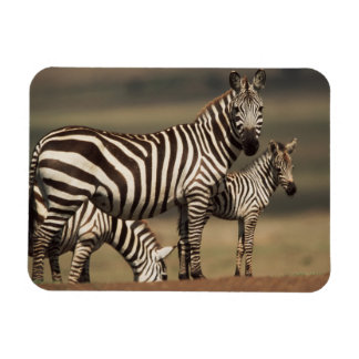 Baby Burchell's Zebra with mother Magnet