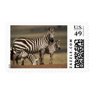 Baby Burchell's Zebra with mother Postage