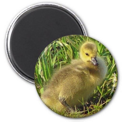 Baby Canadian Goose Magnet 2