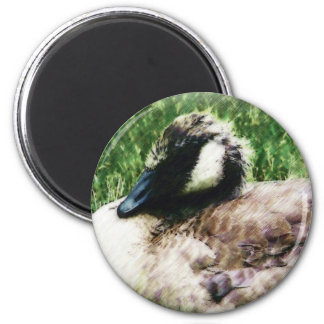 Baby Canadian Goose Photo Sketch Magnets