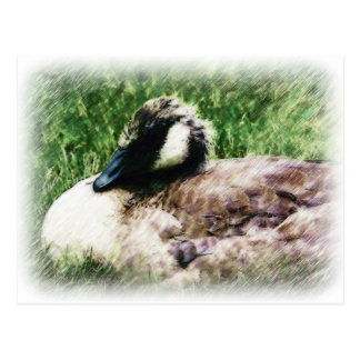 Baby Canadian Goose Photo Sketch Postcard