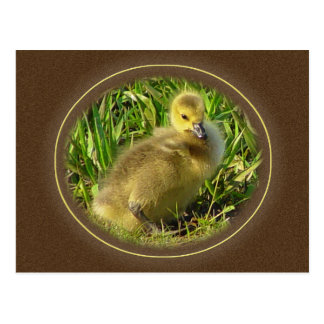 Baby Canadian Goose Postcard