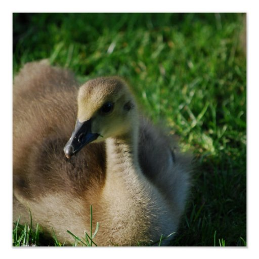 Baby Canadian Goose Poster