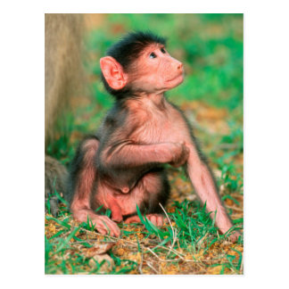 Baby Chacma Baboon (Papio Ursinus) Postcard