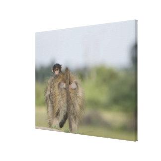 Baby Chacma Baboon (Papio ursinus) riding Gallery Wrap Canvas