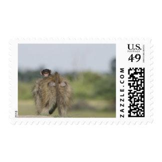 Baby Chacma Baboon (Papio ursinus) riding Stamp