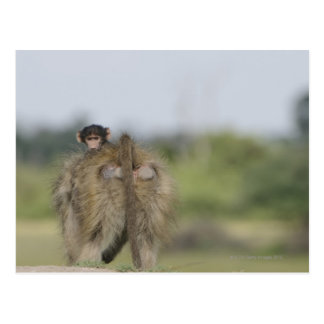 Baby Chacma Baboon (Papio ursinus) riding Postcard