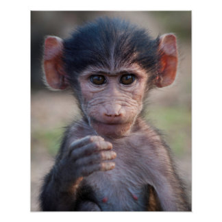 Baby Chacma Baboon (Southern Africa) Poster