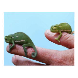 Baby chameleons perspective postcard