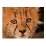 Baby Cheetah Postcard