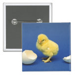 Baby chick 2 inch square button
