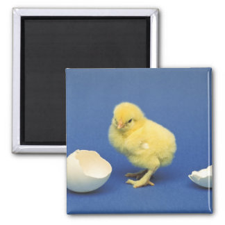 Baby chick magnet
