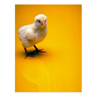 Baby chick on yellow background postcard