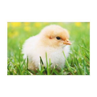 Baby chick sitting in grass canvas print