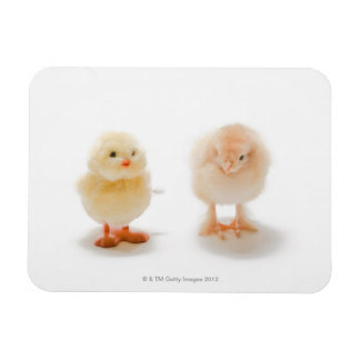 Baby chicken and fake mechanical chicken rectangle magnets
