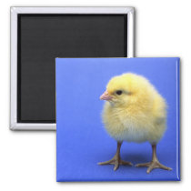 Baby chicken. magnet