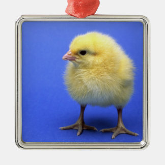Baby chicken. metal ornament