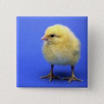 Baby chicken. pinback button