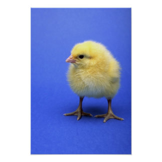Baby chicken. poster