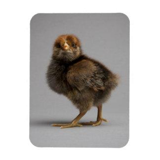 Baby Chicken Vinyl Magnets