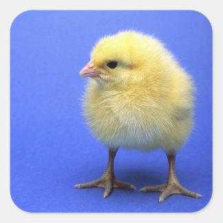 Baby chicken. square sticker