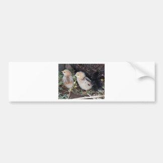 Baby Chicks Bumper Sticker