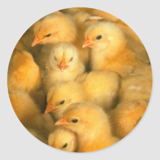 Baby Chicks Chick Chicken Chickens Classic Round Sticker