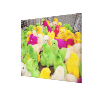 Baby Chicks In A Pen At A Market Colored By Dye Canvas Print