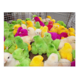 Baby Chicks In A Pen At A Market Colored By Dye Postcard