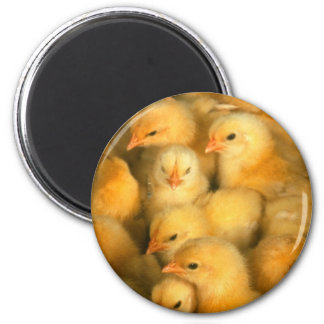 Baby chicks magnet