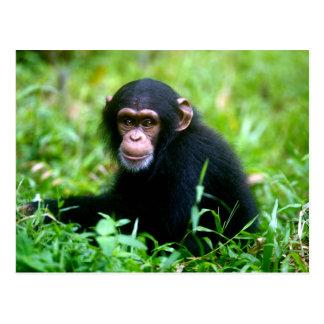 Baby Chimp in Grass Postcard