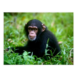 Baby Chimp in Grass Poster