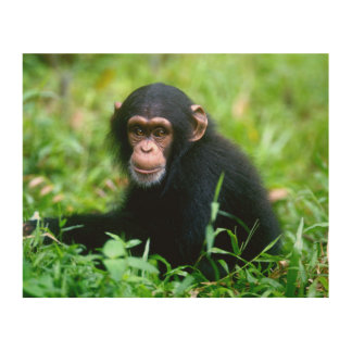 Baby Chimp in Grass Wood Prints