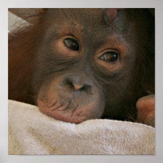 Baby Chimp Poster Print