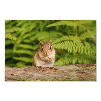 Baby Chipmunk Posing Photo Print