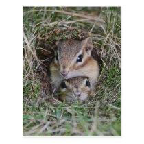 Baby Chipmunk Squished Together Postcard