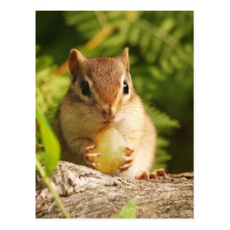 Baby Chipmunk with snack Postcard
