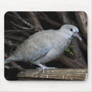 Baby Collard Dove #2 Mouse Pad