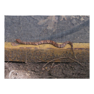 Baby Cottonmouth Snake Poster