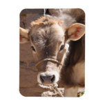 Baby Cow - Brown Baby Calf Close Up Face Magnet