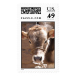 Baby Cow - Brown Baby Calf Close Up Face Postage Stamp
